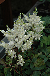 Younique White Astilbe (Astilbe 'Verswhite') at Baseline Nurseries