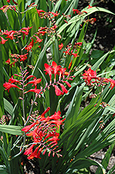 Emberglow Crocosmia (Crocosmia 'Emberglow') at Baseline Nurseries