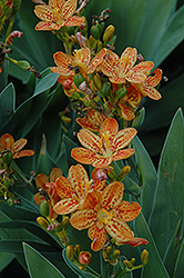 Freckle Face Blackberry Lily (Belamcanda chinensis 'Freckle Face') at Baseline Nurseries