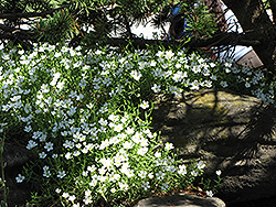 Mountain Sandwort (Arenaria montana) at Baseline Nurseries