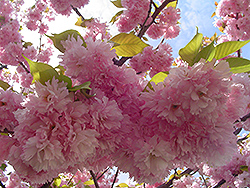 Kwanzan Flowering Cherry (Prunus serrulata 'Kwanzan') at Baseline Nurseries