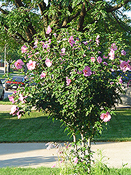 Aphrodite Rose of Sharon (Hibiscus syriacus 'Aphrodite') at Baseline Nurseries