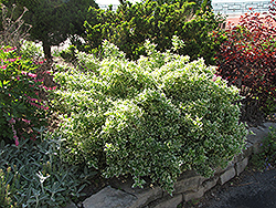Emerald Gaiety Wintercreeper (Euonymus fortunei 'Emerald Gaiety') at Baseline Nurseries