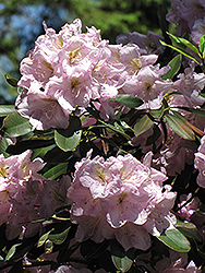 Catawba Rhododendron (Rhododendron catawbiense) at Baseline Nurseries