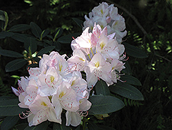 White Catawba Rhododendron (Rhododendron catawbiense 'Album') at Baseline Nurseries