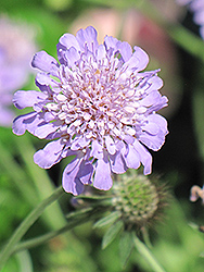 Butterfly Blue Pincushion Flower (Scabiosa 'Butterfly Blue') at Baseline Nurseries