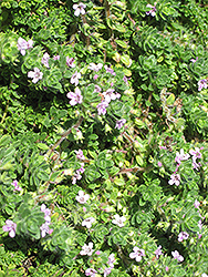 Pink Chintz Creeping Thyme (Thymus praecox 'Pink Chintz') at Baseline Nurseries