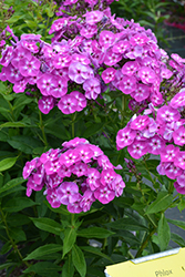 Laura Garden Phlox (Phlox paniculata 'Laura') at Baseline Nurseries