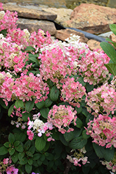 Little Quick Fire® Hydrangea (Hydrangea paniculata 'SMHPLQF') at Baseline Nurseries