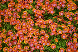 Fire Spinner Ice Plant (Delosperma 'Fire Spinner') at Baseline Nurseries
