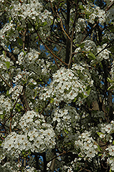 Chanticleer Ornamental Pear (Pyrus calleryana 'Chanticleer') at Baseline Nurseries