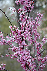 Forest Pansy Redbud (Cercis canadensis 'Forest Pansy') at Baseline Nurseries