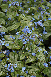 Silver Heart Bugloss (Brunnera macrophylla 'Silver Heart') at Baseline Nurseries
