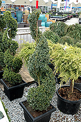 Green Mountain Boxwood (spiral form) (Buxus 'Green Mountain (spiral)') at Baseline Nurseries