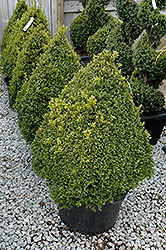 Green Mountain Boxwood (pyramid form) (Buxus 'Green Mountain (pyramid)') at Baseline Nurseries
