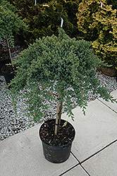 Dwarf Japanese garden Juniper (tree form) (Juniperus procumbens 'Nana (tree form)') at Baseline Nurseries