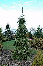 Weeping White Spruce (Picea glauca 'Pendula') at Baseline Nurseries
