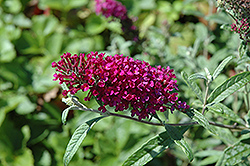 Queen Of Hearts Butterfly Bush (Buddleia 'Queen Of Hearts') at Baseline Nurseries