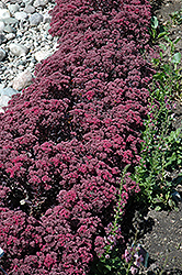 Dazzleberry Stonecrop (Sedum 'Dazzleberry') at Baseline Nurseries