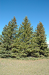 White Spruce (Picea glauca) at Baseline Nurseries