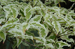 Summer Fun Chinese Dogwood (Cornus kousa 'Summer Fun') at Baseline Nurseries