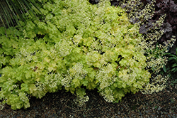 Lime Ruffles™ Foamy Bells (Heucherella 'Lime Ruffles') at Baseline Nurseries