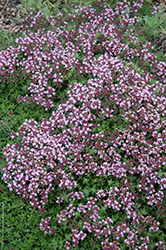 Magic Carpet Thyme (Thymus serpyllum 'Magic Carpet') at Baseline Nurseries