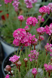 Splendens Sea Thrift (Armeria maritima 'Splendens') at Baseline Nurseries