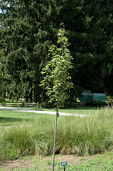 Armstrong Gold Red Maple (Acer rubrum 'JFS-KW78') at Baseline Nurseries