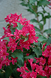 Sonic Bloom Red® Reblooming Weigela (Weigela florida 'Verweig 6') at Baseline Nurseries