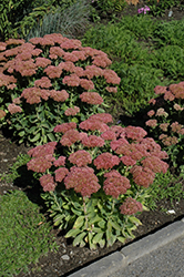 Autumn Fire Stonecrop (Sedum spectabile 'Autumn Fire') at Baseline Nurseries