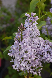 Tiny Dancer Lilac (Syringa vulgaris 'Elsdancer') at Baseline Nurseries