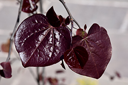 Ruby Falls Redbud (Cercis canadensis 'Ruby Falls') at Baseline Nurseries