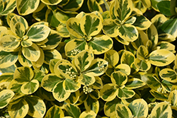 Gold Splash® Wintercreeper (Euonymus fortunei 'Roemertwo') at Baseline Nurseries