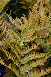 Brilliance Autumn Fern (Dryopteris erythrosora 'Brilliance') at Baseline Nurseries