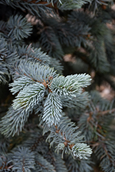 Hoopsii Blue Spruce (Picea pungens 'Hoopsii') at Baseline Nurseries