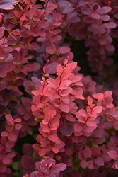 Ruby Carousel Japanese Barberry (Berberis thunbergii 'Bailone') at Baseline Nurseries