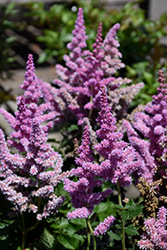 Little Vision In Purple Chinese Astilbe (Astilbe chinensis 'Little Vision In Purple') at Baseline Nurseries