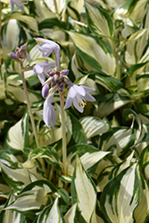 Loyalist Hosta (Hosta 'Loyalist') at Baseline Nurseries