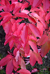 Sourwood (Oxydendron arboreum) at Baseline Nurseries