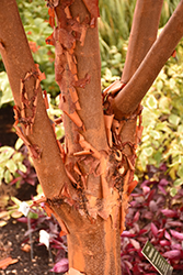 Paperbark Maple (Acer griseum) at Baseline Nurseries
