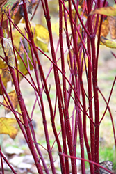 Red Osier Dogwood (Cornus sericea) at Baseline Nurseries