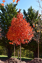 Flashfire Sugar Maple (Acer saccharum 'JFS-Caddo2') at Baseline Nurseries