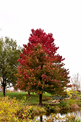 Red Sunset Red Maple (Acer rubrum 'Red Sunset') at Baseline Nurseries
