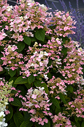 Quick Fire® Hydrangea (Hydrangea paniculata 'Bulk') at Baseline Nurseries