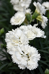 Early Bird™ Frosty Pinks (Dianthus 'Wp10 Ven06') at Baseline Nurseries