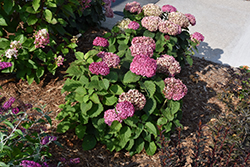 Invincibelle® Mini Mauvette Hydrangea (Hydrangea arborescens 'NCHA7') at Baseline Nurseries