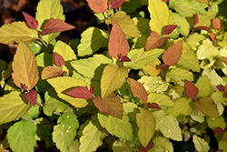 Double Play® Candy Corn® Spirea (Spiraea japonica 'NCSX1') at Baseline Nurseries