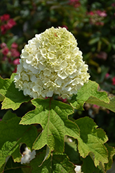 Gatsby Moon® Hydrangea (Hydrangea quercifolia 'Brother Edward') at Baseline Nurseries