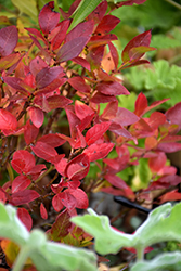Jelly Bean® Blueberry (Vaccinium 'ZF06-179') at Baseline Nurseries